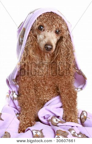 Poodle apricot after a bath isolated on white background poster