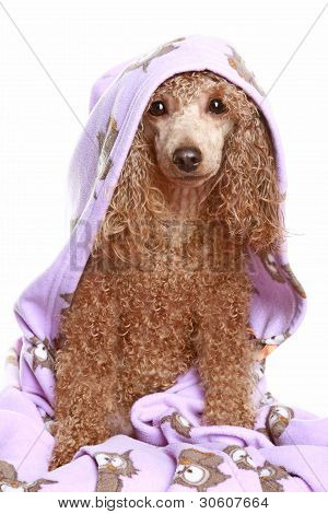 poster of Apricot poodle after bath. isolated on white background