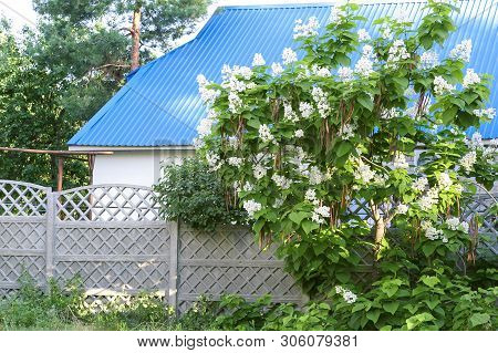 A Blooming Catalpa Tree With Stubbed Seeds In The Courtyard Of A House In The Garden, A Rustic Scene