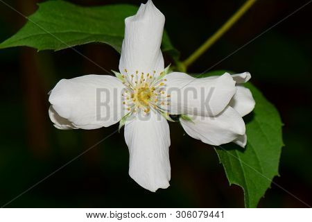 Close-up Of White Jasmine Flower Jasminum Officinale With Green Leaves And Yellow Stamens On A Black