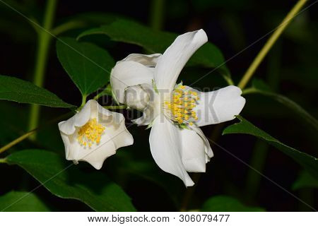 Closeup Of Jasmine Jasminum Officinale Inflorescence With White Flowers With Green Leaves And Yellow