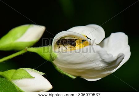 Macro Of A Small Bee Macropis Fulvipes In A White Jasmine Flower Jasminum Officinale With Green Leav