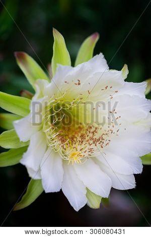 Closeup Beautiful White Cereus Peruvianus Flower On Garden