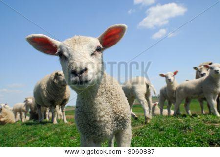 Neugierig Lamm im Frühjahr