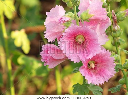 Pink Hollyhock (althaea Rosea) Blossoms On A Summer Day