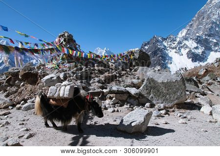 Group Of Yaks Carrying Goods Along The Route To Everest Base Camp In The Himalayan Mountains Of Nepa