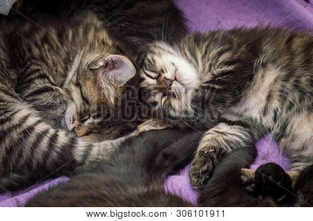 Group Of Little Tabby Cats Sleeping Together At Home.