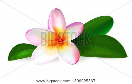 Pink Plumeria Flower. Realistic Isolated Frangipani Illustration With Green Leaves On White Backgrou