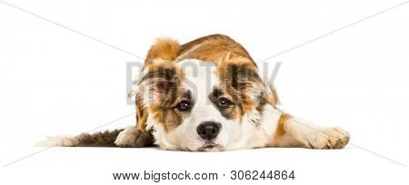 Cross-breed looking at camera against white background