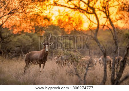 A Blesbok Standing In The Grass, Looking At The Camera At Sunset, With The Rest Of The Herd In The B