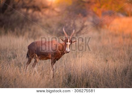 A Blesbok (damaliscus Pygargus Phillipsi) Standing In Long Grass, Looking At The Camera At Sunset. D
