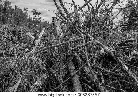 Stained Background Base Monochrome Pile Of Broken Branches Of The Trunks Of Spruce Birch