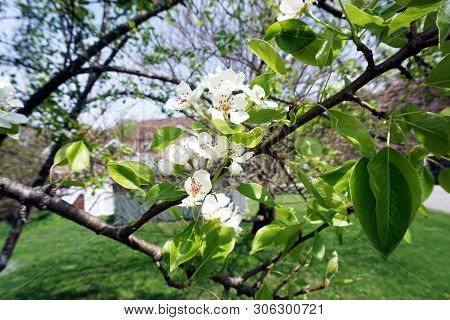 A Pear Tree (pyrus Communis) Blossoms During May In Harbor Springs, Michigan.