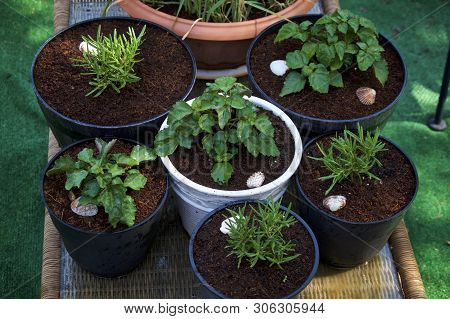 Container Garden Of Pogostemon Cablin  Patchouli And Rosemary Plants Growing Outdoors In Coconut Coi