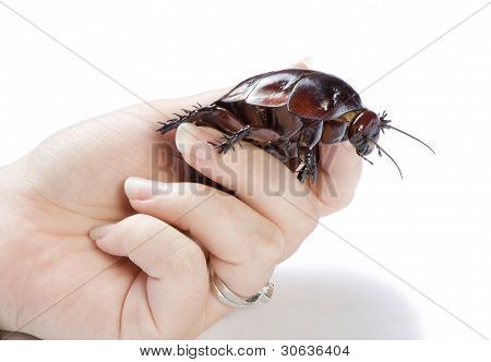 Hand holding giant burrowing cockroach on a white background