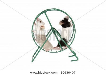 Two mice running in exercise wheel on a white background poster