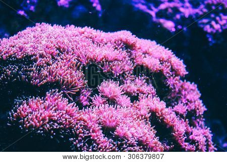 Pink Coral Reef. Underwater View Of Pink Flora On Coral Reef In Blue Sea.shallow Coral Reef With Har