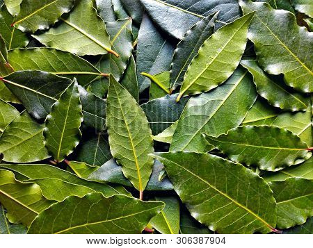 Bay Leaf Or Laurel (laurus Nobilis) Pattern Texture Background. Organic Fresh Green Bay Leaves From