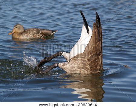 Goose Duck