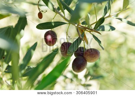 Branch with fresh ripe olives. Mediterranean olive trees garden ready for harvest.