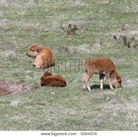 Bison Babies Three Grazing Sleeping