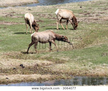 Elk Grazing By Water Yellowstone