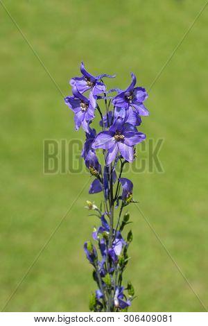 Alpine Delphinium Pacific Giant Flowers - Latin Name - Delphinium Elatum Pacific Giant