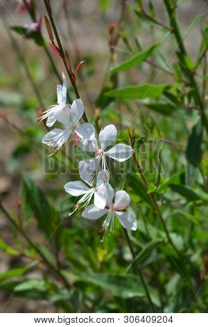 Gaura Whirling Butterflys White Flowers - Latin Name - Oenothera Lindheimeri Whirling Butterflys (ga
