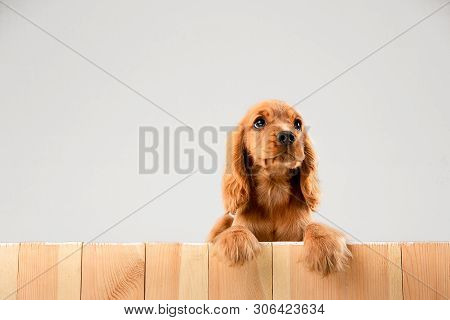 Waiting For Parents. English Cocker Spaniel Young Dog Is Posing. Cute Braun Doggy Or Pet Is Lying An