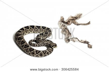 Crotalus atrox, western diamondback rattlesnake or Texas diamond-back, venomous snake with shed skin against white background poster