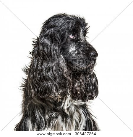 English Cocker Spaniel , 4, 5 years old, against white background