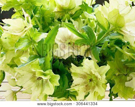 Hellebore flowers in spring season