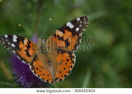 Portrait Of Orange And Black Butterfly On A Purple Flower In The Mountains Of Galicia. Fence Of Vall