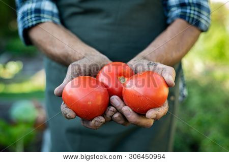 Farmer hands with freshly harvested tomatoes. Closeup dirty old hands holding three red juicy tomatoes in farm. Senior hand showing organic harvested vegetables.