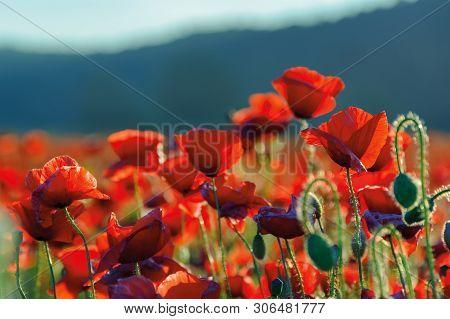 Poppy Flowers Field Bathing In The Sunlight. Beautiful Summer Background