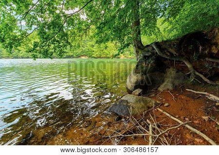 Old Beech Tree On The Shore Of Morske Oko Lake In Sunburst. Beautiful Vihorlat Landscape Of Slovakia