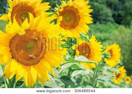 Sunflowers In The Field. Bees Gathering Pollen. Beautiful Bright Summer Nature Background. Blurry Ba