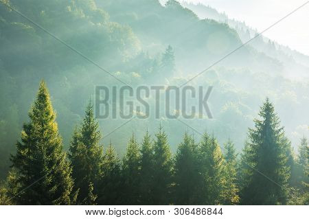 Spruce Treetops On A Hazy Morning. Wonderful Nature Background With Sunlight Coming Through The Fog.
