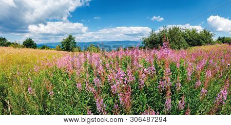 Panorama With Bunch Of Blooming Fireweed On The Meadow. Bright Flowers On A Sunny Day In Mountains.