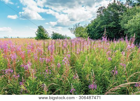 Bunch Of Blooming Fireweed On The Meadow. Bright Flowers On A Sunny Day In Mountains. Blue Sky With