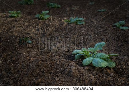 Young Sprout Of Potato With Green Leaves Growing From Soil On Potato Field Close Up. Green Vernal Sp