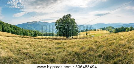 Big Beech Tree On The Grassy Meadow In Mountains. Forest Around The Slope. Wonderful Summer Scenery
