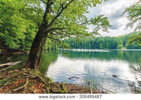 Beech Tree On The Shore Of A Lake. Beautiful Nature Scenery Among Primeval Forest Of Vihorlat, Slova