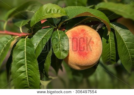 Ripe Peach Fruit On A Peach Tree Branch With Leaves In The Morning Garden. Harvesting Peaches.