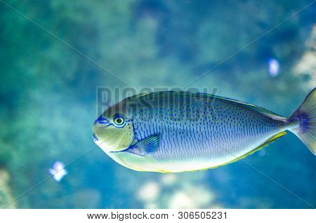 Fish  Acanthurus Bariene. Black-spot Surgeonfish. Seaweed Surgeon - Surgical Fish. Body Up To 50 Cm