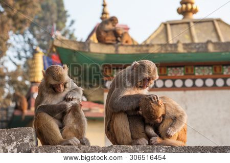 Monkey Mother Holding Her Baby Near The Temple In Kathmandu, Nepal. Monkeys In Kathmandu. Nepal. A S