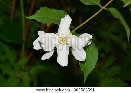White Jasmine Flower Jasminum Officinale With Yellow Stamens With Green Leaves Growing In The Foothi