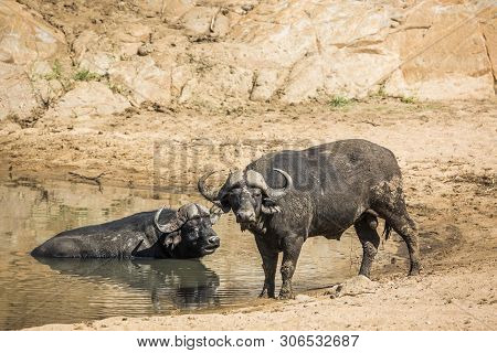 Two African Buffalo Bull In Waterhole In Kruger National Park, South Africa ; Specie Syncerus Caffer