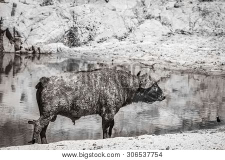 African Buffalo Standing On Riverbank In Black And White In Kruger National Park, South Africa ; Spe