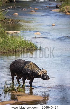African Buffalo Standing In Middle Of River In Kruger National Park, South Africa ; Specie Syncerus